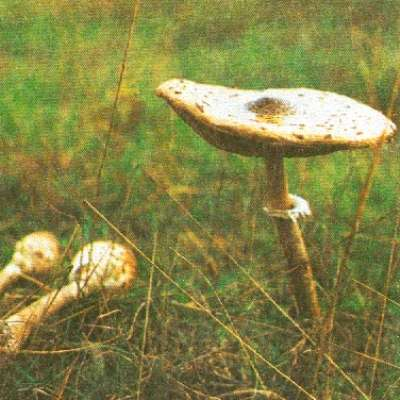 Среди съедобных грибов зонтиков нам